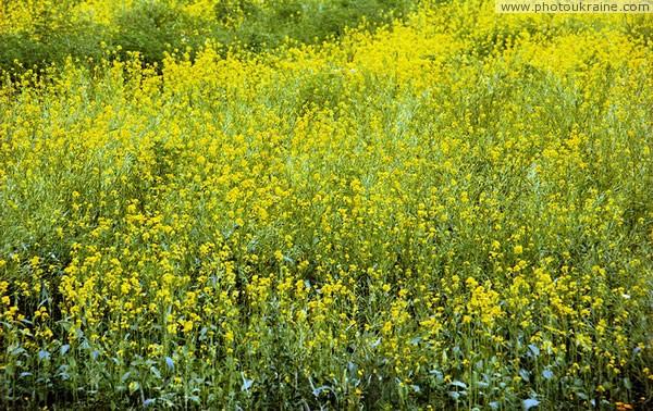 Какого цвета цветы гречихи